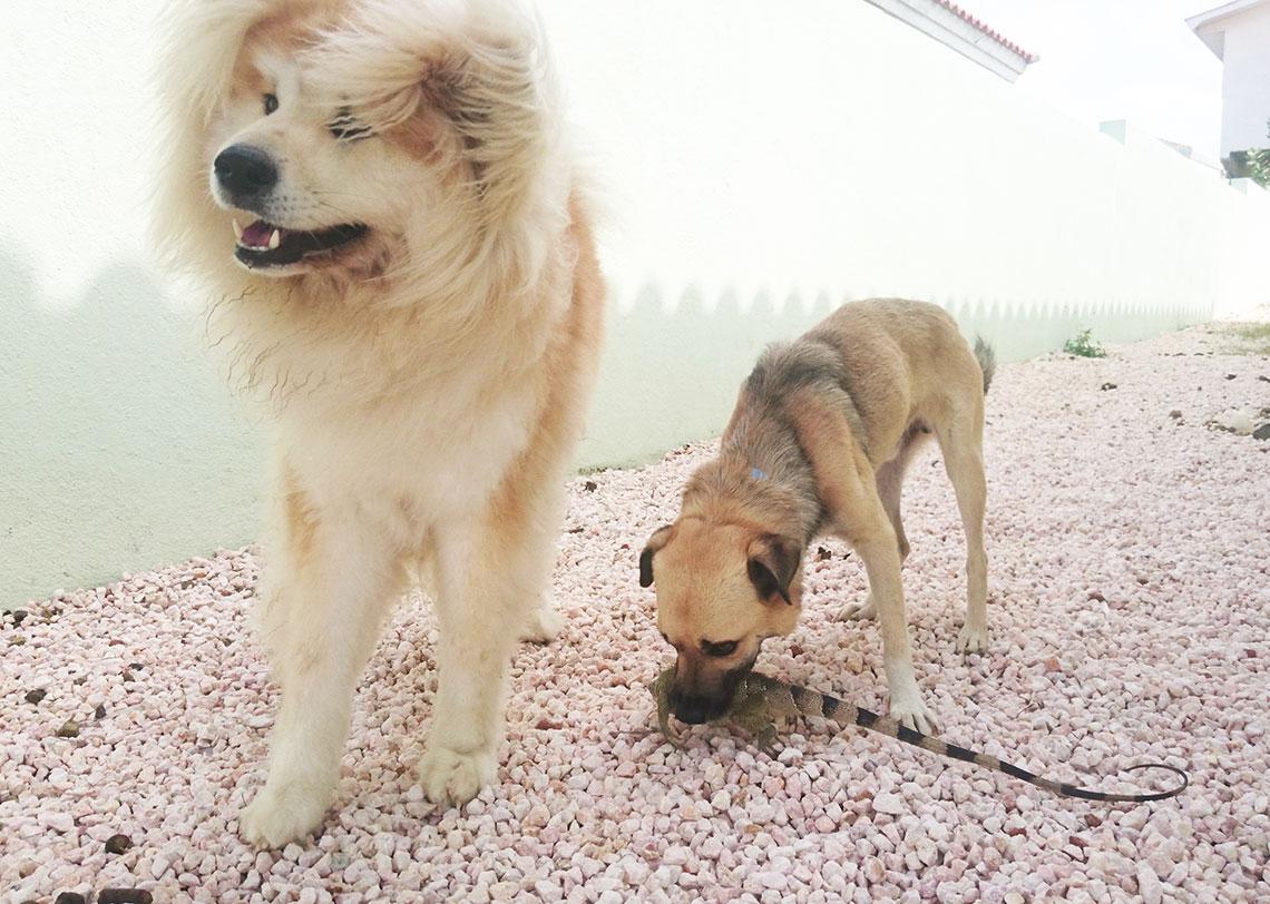 hond vangt leguaan in curacao