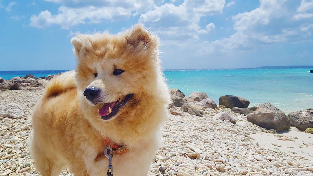 akita hond Curacao